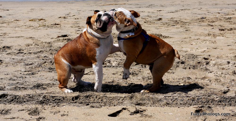 English Bulldog Photography