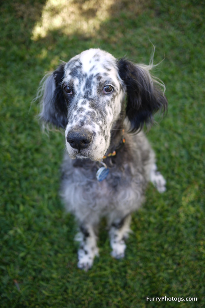 English Setter Photography